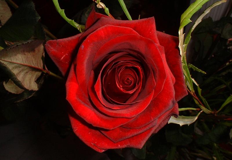 Red_rose_closeup_1