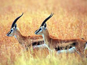 Tibetan-antelope