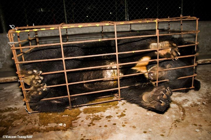 Bear Bile farming, China