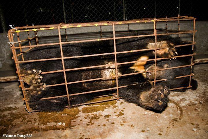 Bear Bile farming, China