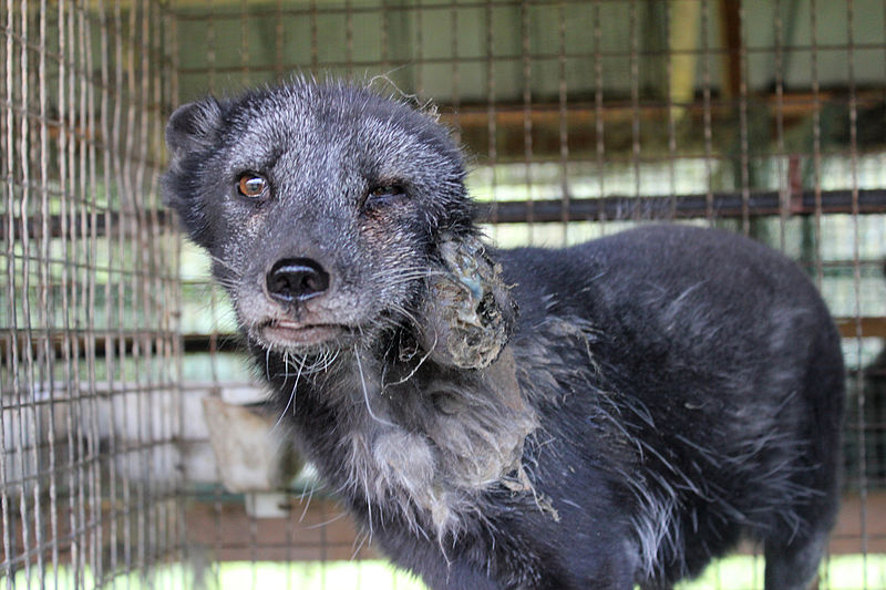 """fur industry synonym for animal """"the fur industry is an unregulated, unaccountable, ethics-free business,"""" said mimi bekhechi, director of the peta (people for the ethical treatment of animals) foundation """"animals are killed in the most horrifying ways — often through anal or vaginal electrocution, gassing or poisoning."""