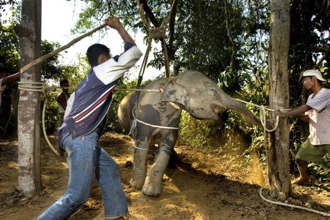 baby-elephant-torture