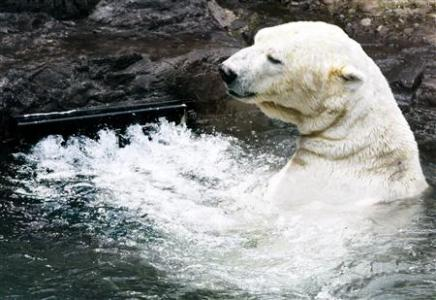 Gus, a 17-year-old polar bear, frolics near the vent of a water circulation system in the polar bear exhibit at the Central Park Zoo in New York in this file photo