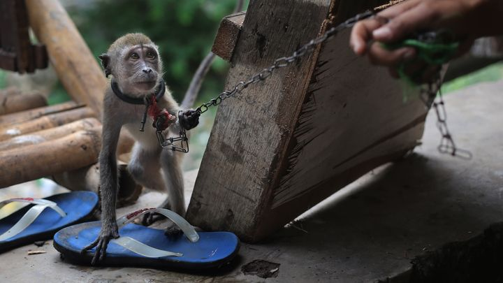 1382855025000-AP-Indonesia-Monkey-Business