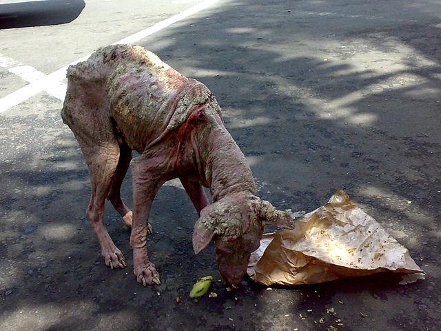 640px-Street_dog-Gianyar_Bali-2009