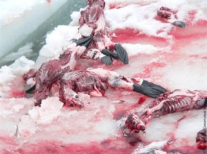 seal_slaughter11